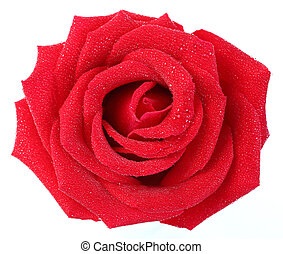Red rose with water droplet