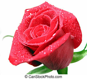 Red rose with water droplets