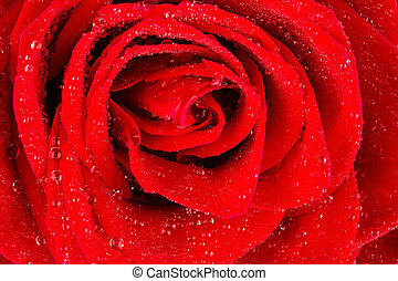 red rose with water drops - a red rose with drops of water...