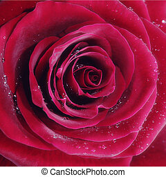 Red rose with water drops, closeup photo.