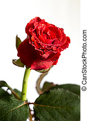 Red rose with water drops isolated on white background