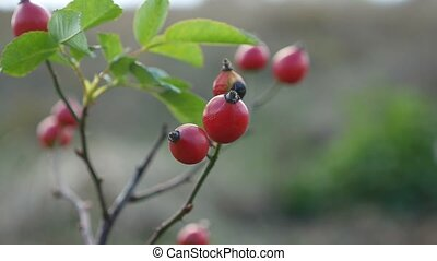 red rosehip berries on a bush branch nature tree