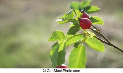 red rosehip berries on a tree branch bush nature - red...