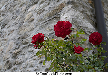 Red roses against a old stone wall