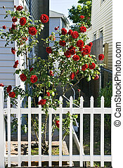 Red Roses and Pickett Fence - Red roses and a white picket...