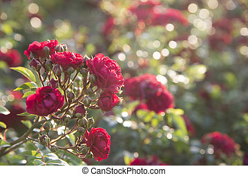 red roses at the evening sun rays, defocused blurred background
