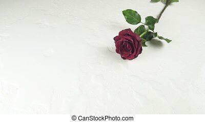 Red roses falling on white background with water slow motion stock footage video