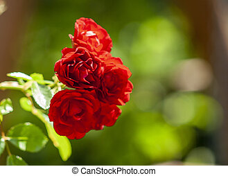 Red roses flower in garden. Outdoor valentine flower. Summer romance background. Blooming roses garden plant.