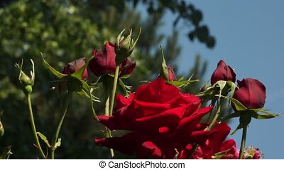 Red Roses Flowers 001