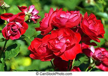 Red roses, flowers in garden