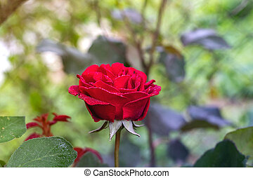 Red Roses in a garden with water drops.
