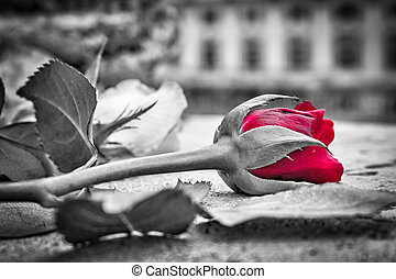 red roses in black and white