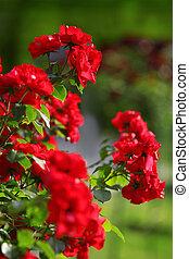 red roses in green park garden, flowers background