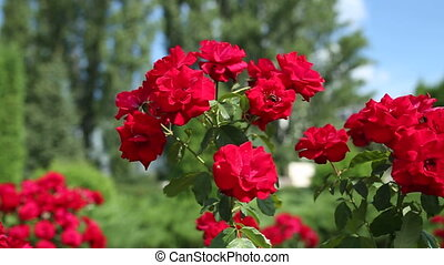 Red Roses in the Garden in a Summer Sunny Day