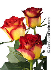 Red roses, isolated