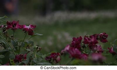 Red Roses Macro Horizontal Pan Shot Sunset - Red roses macro...