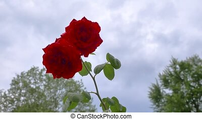 Red roses on a background of gray clouds.