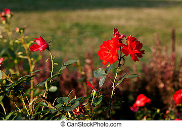 red roses on a background of green grass