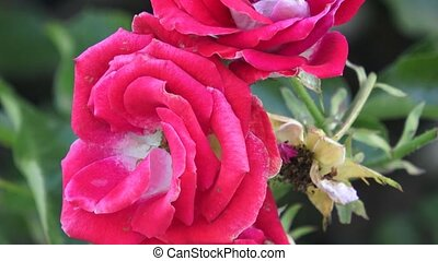 Red Roses on a bush in a garden. Red rose on the branch in a garden