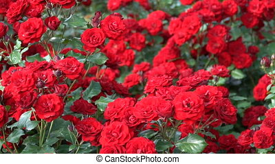Red Roses on a flowerbed in the spring park.