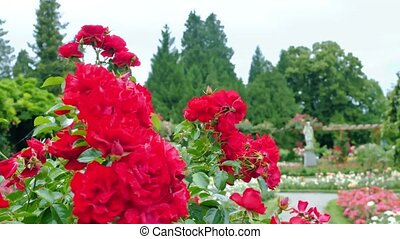 Red roses on a park background.