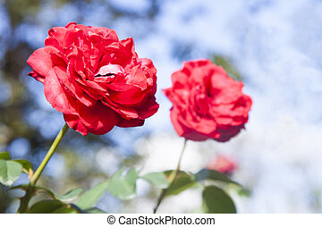 Red roses on blue sky background.