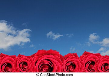 red roses on blue sky background