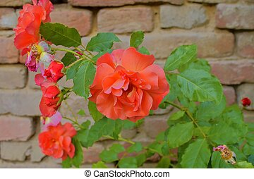 Red roses on red brick background. Romantic scenery