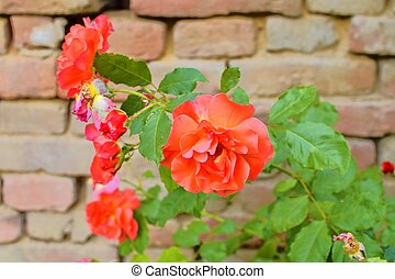 Red roses on red brick background. Romantic scenery.