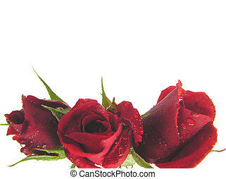 Red roses on the bottom edge of a white background