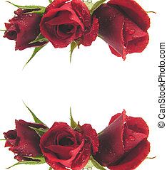 Red roses on the top and bottom edge of a white background