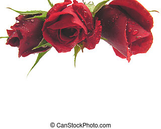 Red roses on the top edge of a white background