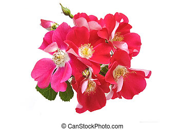 Red roses on white isolated background