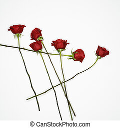 Red roses on white. - Long-stemmed red roses spread out...