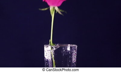 Red roses slowly fall in a vase with water,slow motion