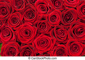 red roses - beautiful red roses