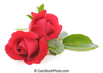 Red Roses - Two beautiful red roses on a white background