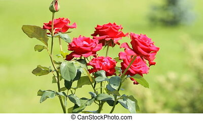 Red Roses - Bush of Red Roses