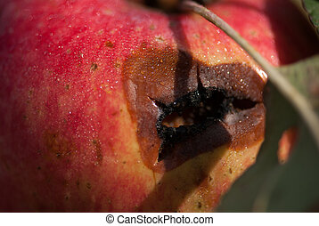 Red rotten wet Apple on a branch , selective focus macro shot with shallow DOF