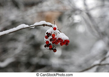 Red rowan berries in the snow in winter