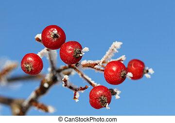Red Rowan Berries in Winter Frost against Blue Sky