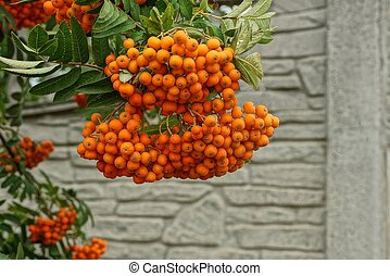 red rowan berries on a branch with green leaves