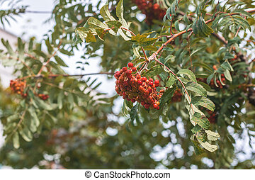 Red Rowan berries on a branch with leaves