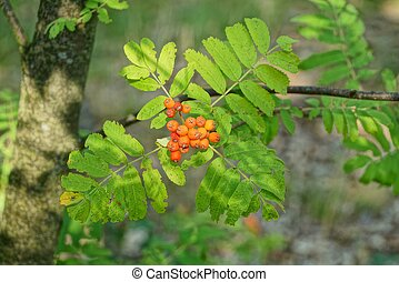 red rowan berries on a tree branch with green leaves