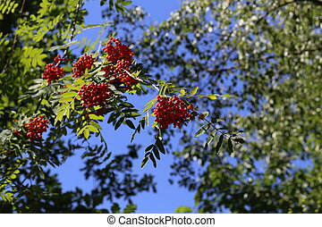 Red rowan berries on the rowan tree branches