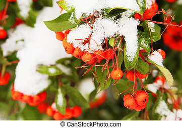 Red rowan berries under snow