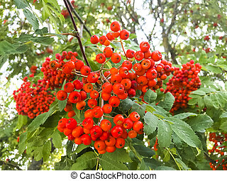 Red rowan berries with leaves on tree branches.