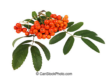 Red rowan - bunch of red rowan, isolated on white background