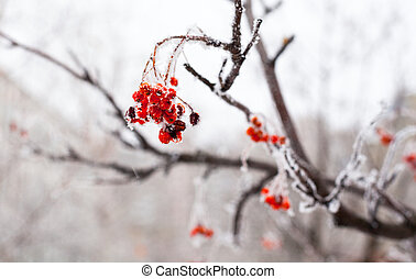 Red rowan fruit covered with hoarfrost