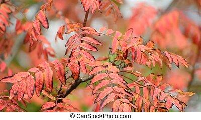 red rowan leaves of autumn - A red rowan leaves of an autumn...